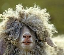 Funny,sheep-44814686090209786ea87230de068a79_m (1)
