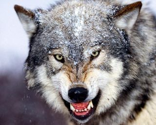Timberwolf-face-growling