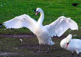 Whiteswans